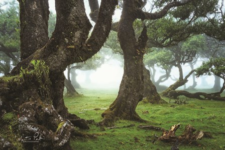 The Old Laurel Trees by Martin Podt art print