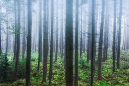 Misty Pines by Hans Logren art print