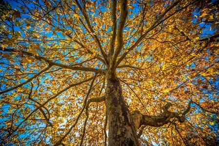 Fall Tree by Tim Oldford art print