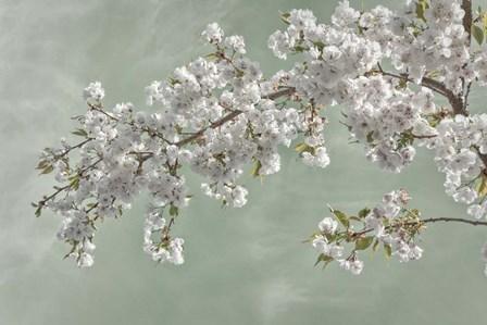 Cherry Tree Blossoms In Spring, Seabeck, Washington State by Jaynes Gallery / Danita Delimont art print