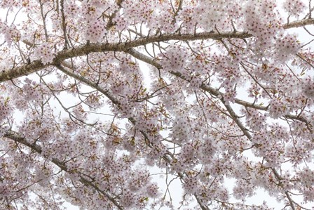 Cherry Tree Blossoms, Seabeck, Washington State by Jaynes Gallery / Danita Delimont art print