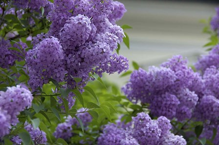 Lilacs In Bloom, Salzburg, Austria by Lisa S. Engelbrecht / Danita Delimont art print