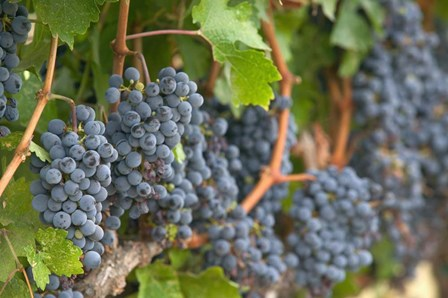 Vineyard Grapes, Calistoga, Napa Valley, Ca by Walter Bibikow / Danita Delimont art print