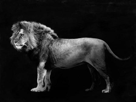 Panthera Leo by Julian Lauren art print