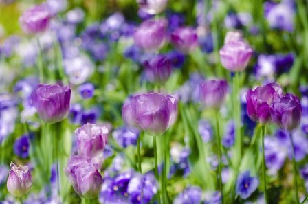 Tulips At Claude Monet House And Gardens, Giverny, France by Russ Bishop / DanitaDelimont art print