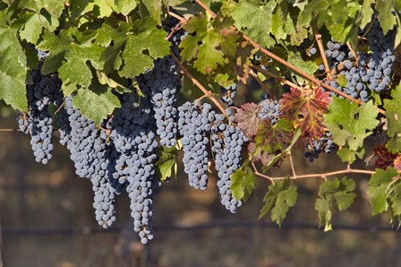 Close Up Of Cabernet Sauvignon Grapes In The Haras De Pirque Vineyard, Chile, South America by Janis Miglavs / Danita Delimont art print