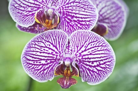 Orchid by Rob Tilley / Danita Delimont art print