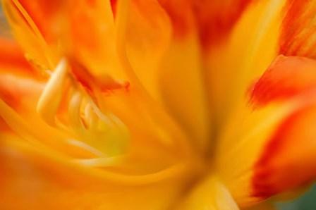 Orange Daylily by Anna Miller / Danita Delimont art print