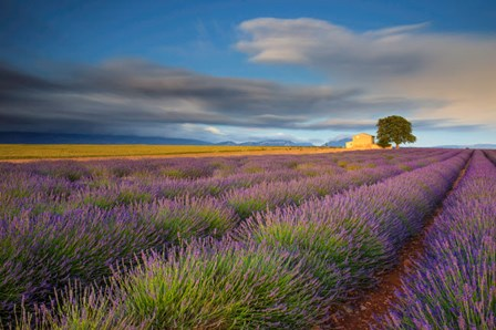 France, Provence, Valensole Plateau Lavender Rows And Farmhouse by Jaynes Gallery / Danita Delimont art print
