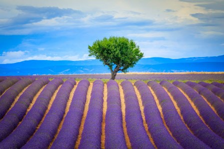 Europe, France, Provence, Valensole Plateau Field Of Lavender And Tree by Jaynes Gallery / Danita Delimont art print
