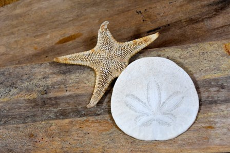 Sand Dollar And Starfish Still-Life by Savanah Plank / DanitaDelimont art print
