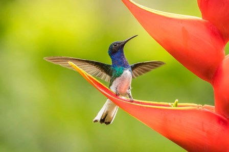 Costa Rica, Sarapiqui River Valley, Male White-Necked Jacobin On Heliconia by Jaynes Gallery / Danita Delimont art print