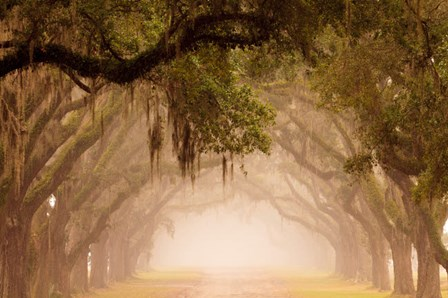 Georgia, Savannah, Wormsloe Plantation Drive In The Early Morning Fog by Joanne Wells / Danita Delimont art print