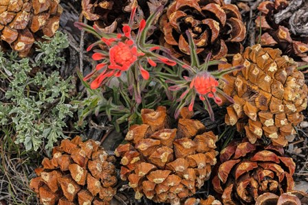 Indian Paintbrush And Pine Cones In Great Basin National Park, Nevada by Chuck Haney / Danita Delimont art print