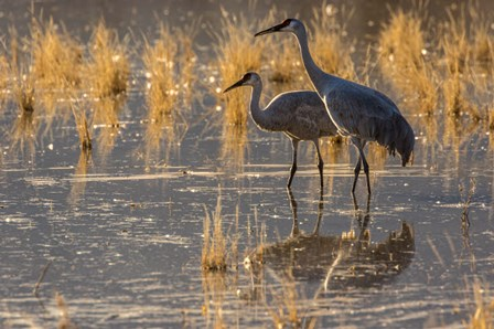 Sandhill Cranes In Water by Jaynes Gallery / Danita Delimont art print