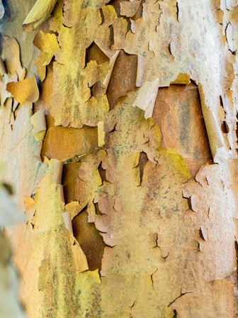 Colorful Bark On A Tree In A Garden by Julie Eggers / Danita Delimont art print