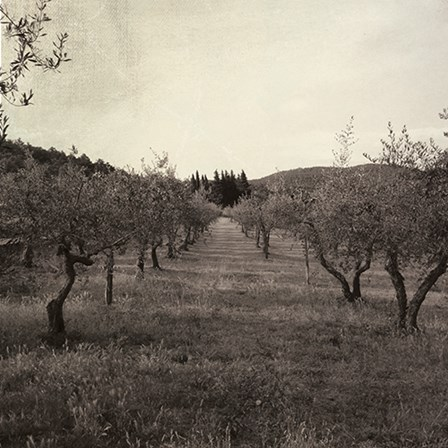 Tuscan Olive Grove by Tammy Apple art print