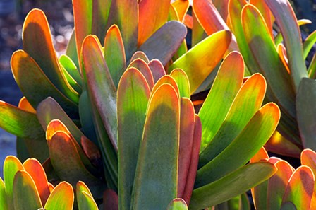 Succulents II by Dennis Frates art print