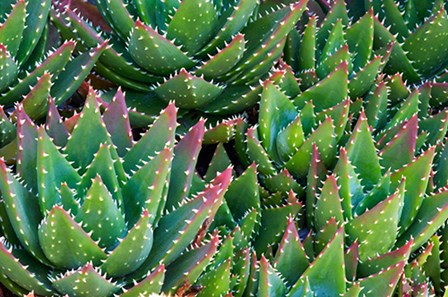 Succulents III by Dennis Frates art print