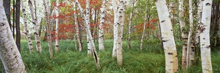 White Birch Trees In Wild Gardens Of Acadia, Acadia National Park, Maine by Panoramic Images art print