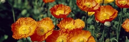 Poppies In Bloom, Japan by Panoramic Images art print