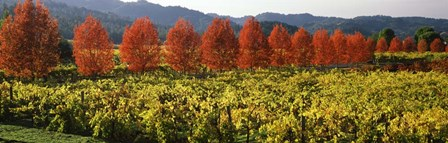 Crop In A Vineyard, Napa Valley, California by Panoramic Images art print