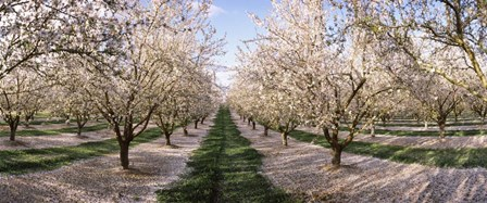 Almond Trees In An Orchard, Central Valley, California by Panoramic Images art print