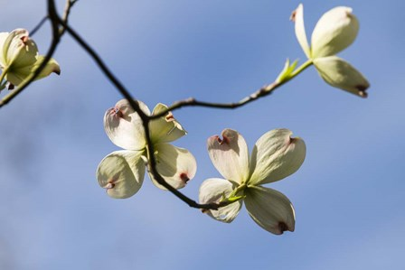 Close-Up Of Flowering Dogwood Flowers On Branches, Atlanta, Georgia by Panoramic Images art print
