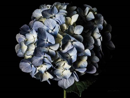 Pale Blue Hydrangea by Elise Catterall art print