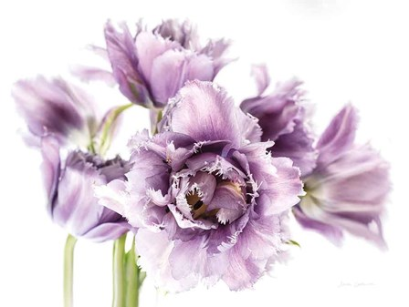 Purple Fringed Tulips I by Elise Catterall art print