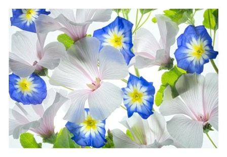 Hybiscus and Blue Ensign flower by Dennis Frates art print