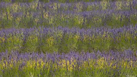 Field of Purple by Sossi Madzounian art print