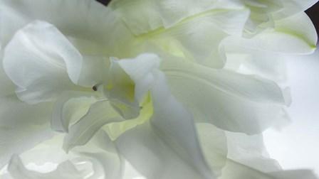 Close Up of White Flower by Sossi Madzounian art print