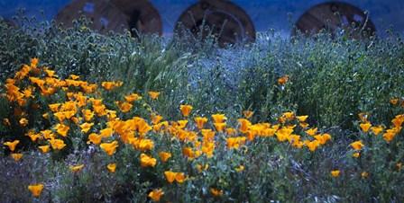 Field of Orange Flowers by Sossi Madzounian art print