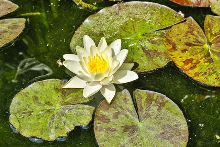 Lily Pad by Hollice Looney / Danita Delimont art print