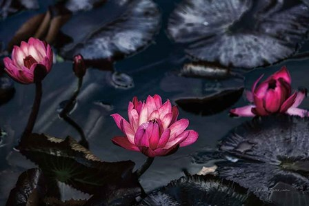 Waterlilies by Elise Catterall art print