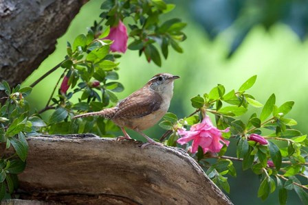 Carolina Wren by Dick Petrie art print