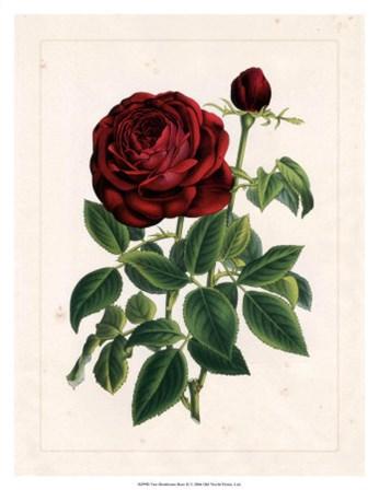 Van Houtteano Rose II art print