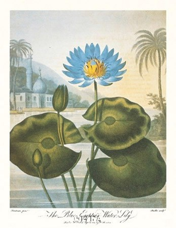 The Blue Egyptian Water-Lily by Robert John Thornton art print