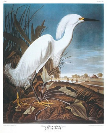 Snowy Heron or White Egret by John James Audubon art print