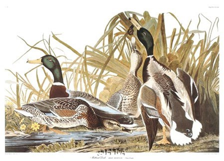 Mallard Duck by John James Audubon art print
