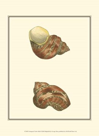 Variegated Turbo Shells by George Shaw art print