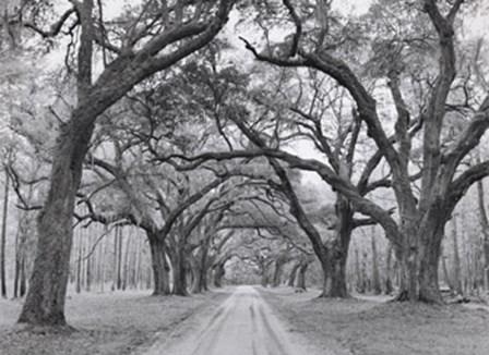 Oak Arches by Jim Morris art print