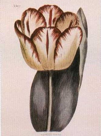 Garden Tulip art print