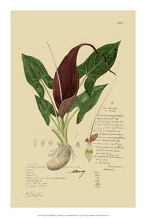 Descubes Aroid Plant IV art print