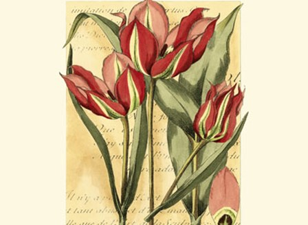 French Tulip by Samuel Curtis art print