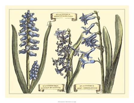 Hyacinth in Bloom by Claude Langlois art print