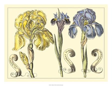 Iris in Bloom I by Claude Langlois art print