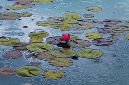 Waterlilies by Hank Gans art print
