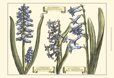 Small Hyacinth in Bloom (P) by Claude Langlois art print